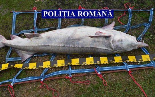 Morun femela braconat, de 120 kg și 2,5 m a fost eliberat în mediu natural de Poliția Română și INCDPM